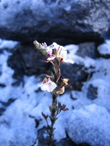 Famous flora on Carstensz Pyramid
